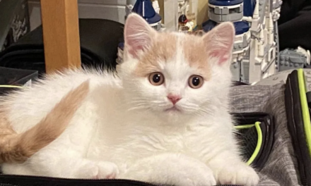 软软糯糯的小猫,如何在英国领养或购买?